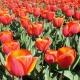 Tulipanowy ogród w Śrinagarze, Kaszmir