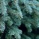 Zapachy Świąt: część III - Jodła