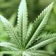 Konopie - Cannabis