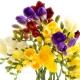 Frezja, kwiat o elektryzującej świeżości